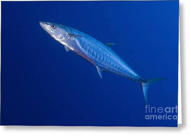 Narrow Barred Spanish Mackerel Greeting Card