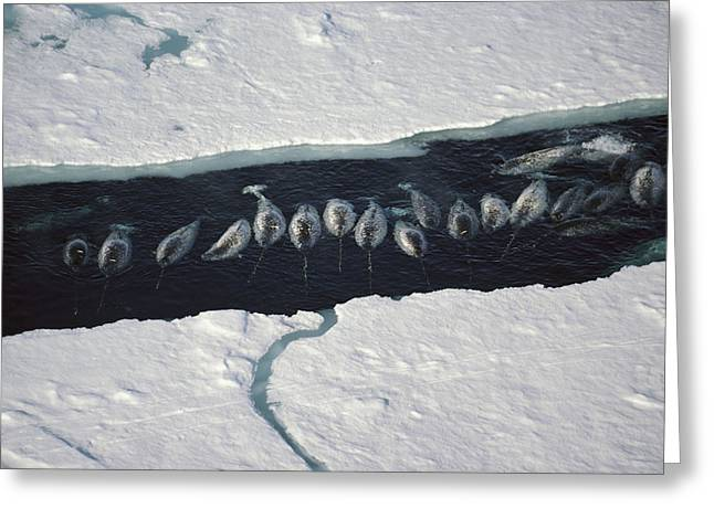 Narwhal Group In Ice Break Near Baffin Greeting Card