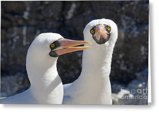 Nazca Boobies Greeting Card