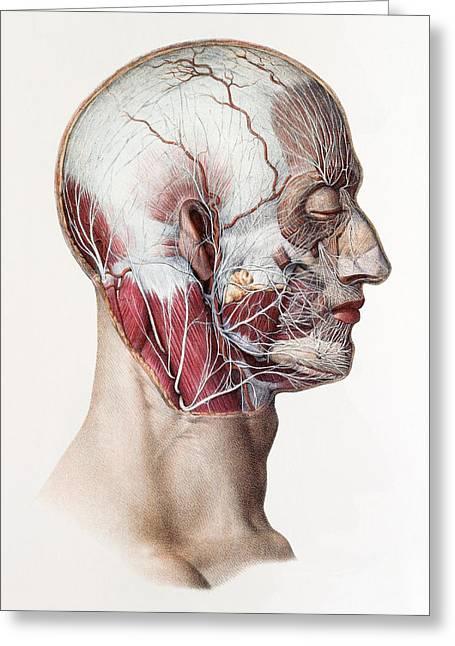 Neck And Facial Nerves Greeting Card by Mehau Kulyk