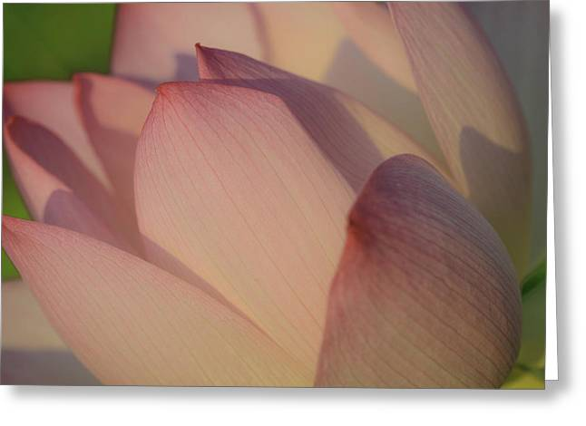 Nelumbo 'red Scarf' Greeting Card