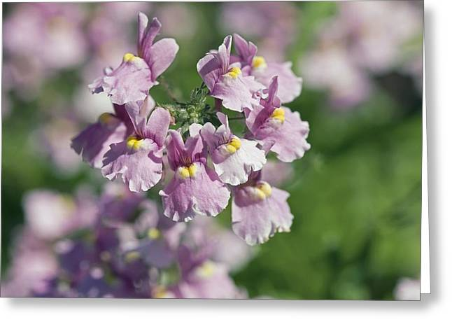 Nemesia Sp Greeting Card by Dr Keith Wheeler