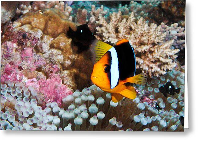 Nemo Greeting Card by Jean Noren