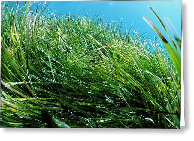 Neptune Grass Greeting Card by Alexis Rosenfeld