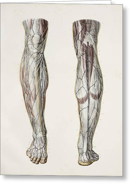 Nerves Of The Lower Leg, 1844 Artwork Greeting Card by