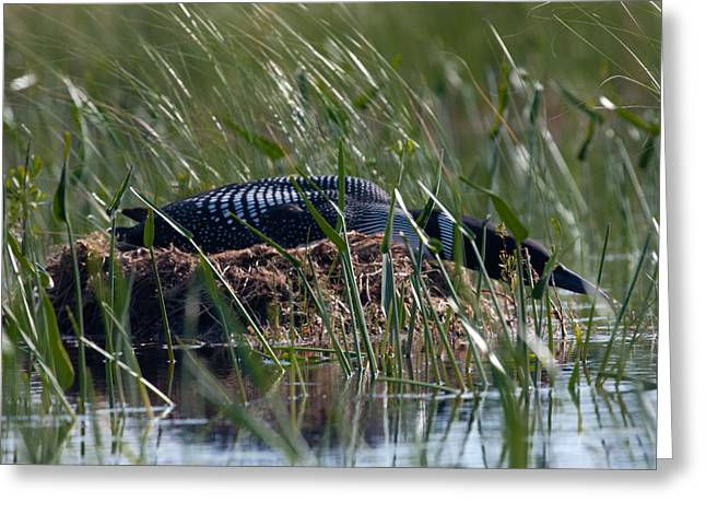 Greeting Card featuring the photograph Nesting Loon by Brent L Ander