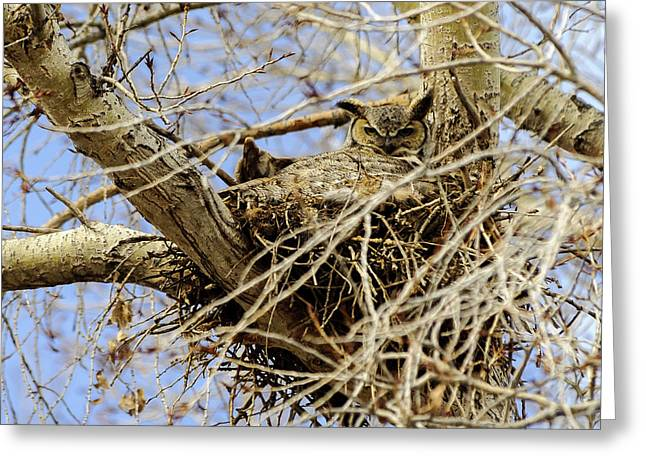 Greeting Card featuring the photograph Nesting Owl  by Stephen  Johnson