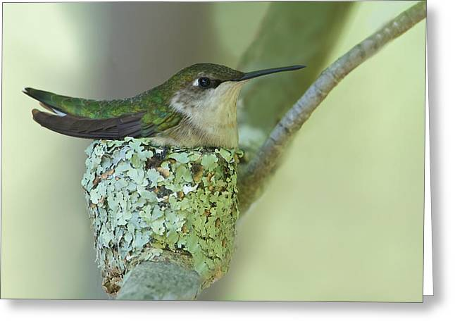 Nesting Ruby-throated Greeting Card