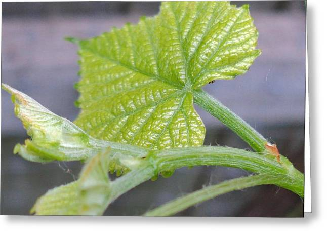 New Grape Leaves Macro Greeting Card by Padre Art