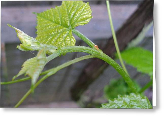 New Grape Leaves Greeting Card