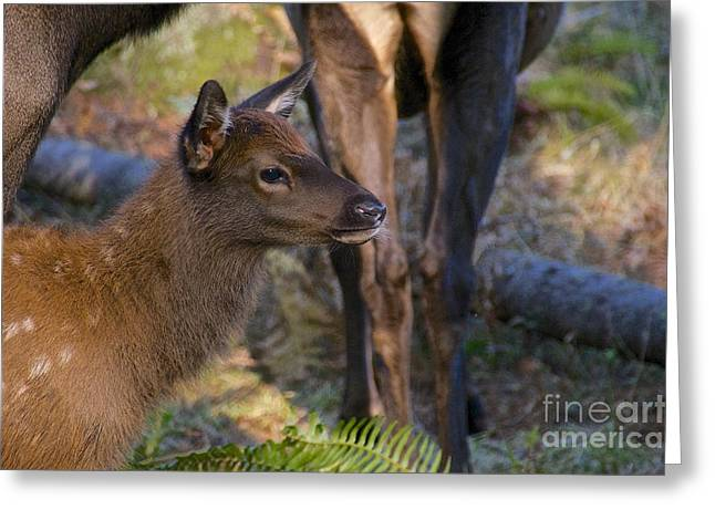Newborn Elk Greeting Card by Sean Griffin