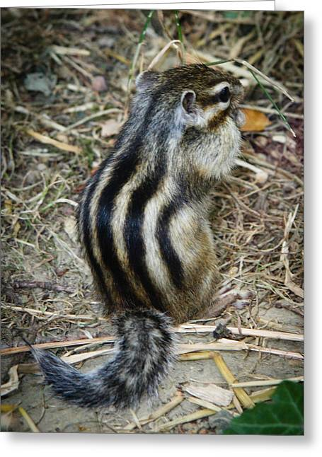 North American Striped Squirrel Greeting Card by Ivica Vulelija