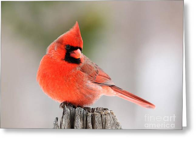Greeting Card featuring the photograph Northern Cardinal by Jack R Brock