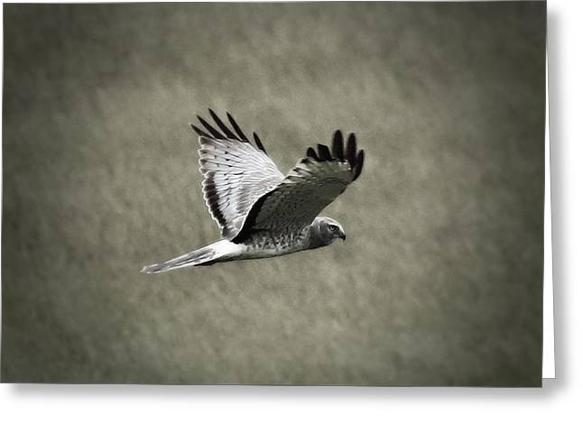 Northern Harrier Greeting Card