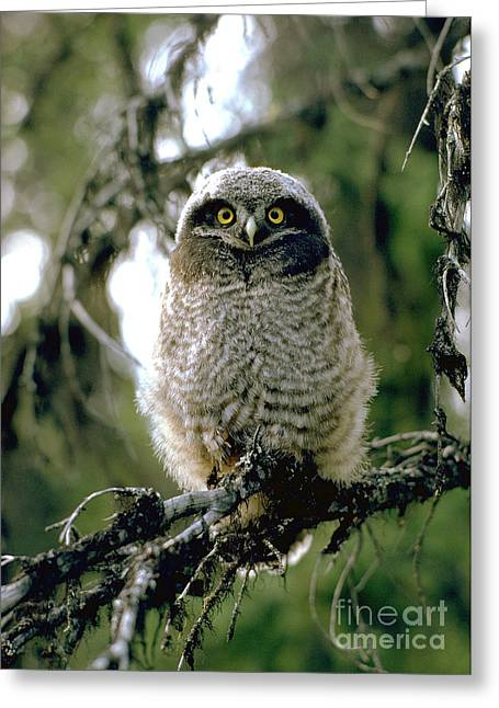 Northern Hawk Owl Fledgeling Greeting Card