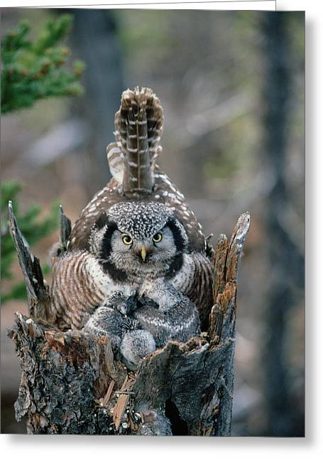Northern Hawk Owl Surnia Ulula Parent Greeting Card by Michael Quinton