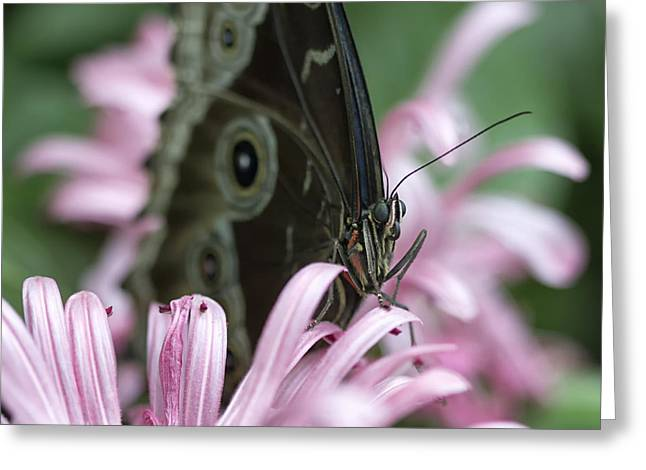 Northern Pearly-eye On Pink Greeting Card by Bill Tiepelman
