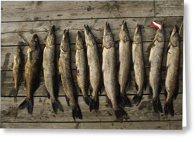Northern Pike And Walleye Left Greeting Card by Gordon Wiltsie