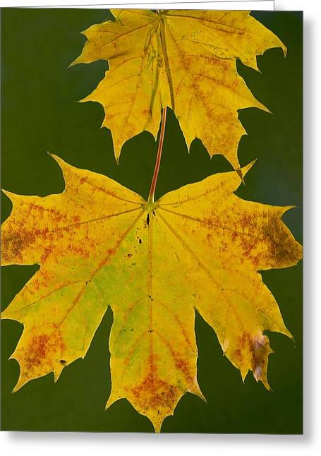 Norway Maple (acer Platanoides) Greeting Card