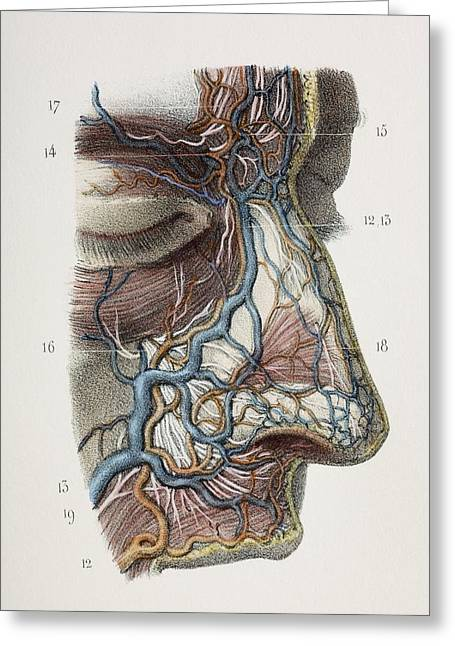 Nose Nerves And Vessels, 1844 Artwork Greeting Card by