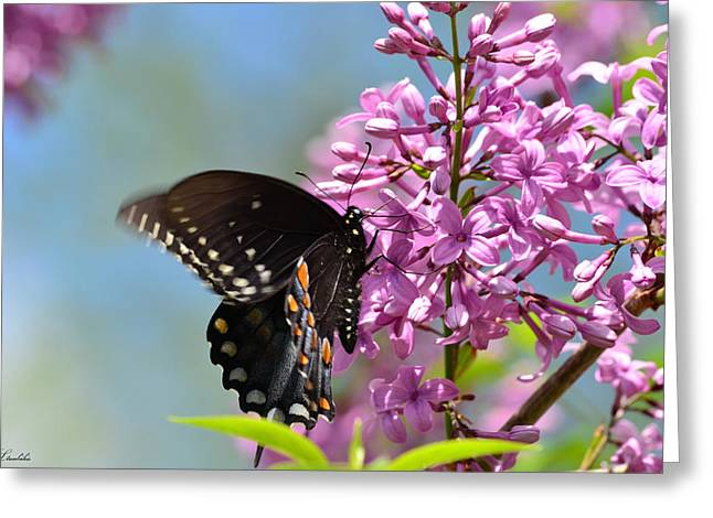 Nothing Says Spring Like Butterflies And Lilacs Greeting Card by Lori Tambakis