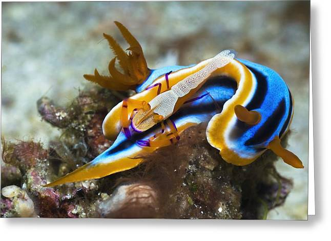 Nudibranch And Emperor Shrimp Greeting Card