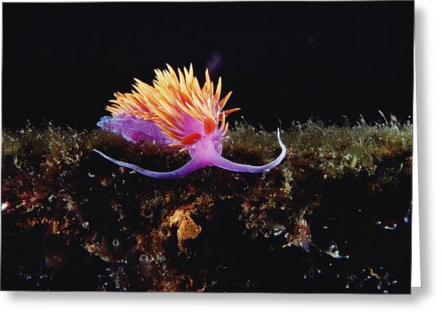 Nudibranch Brightly Colored Arctic Ocean Greeting Card by Flip Nicklin