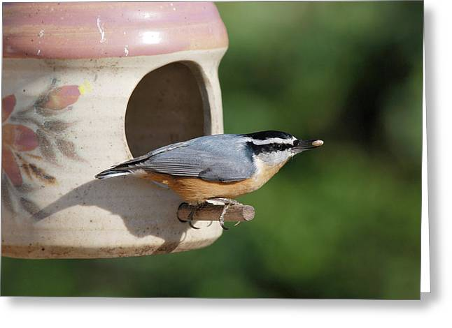 Nuthatch At Feeder Greeting Card