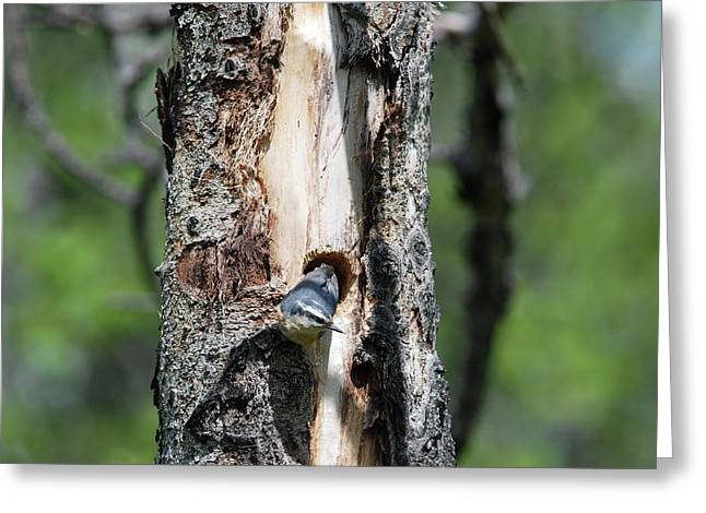 Nuthatch At Nest Site Greeting Card