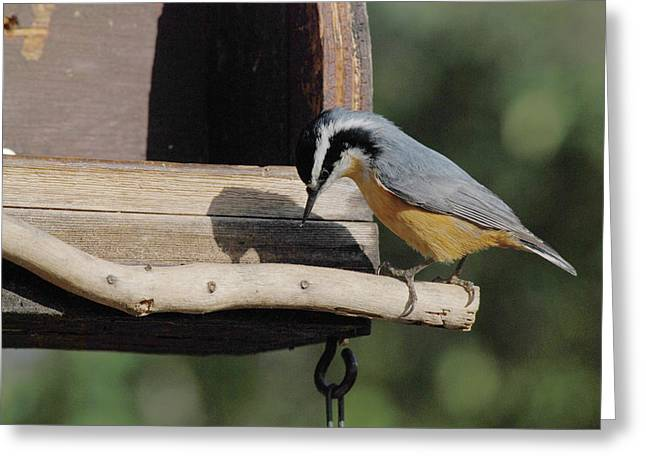 Nuthatch Opening Sunflower Seed Greeting Card