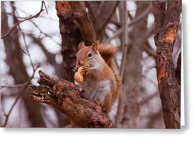 Nutty Squirrel Greeting Card by Josef Pittner