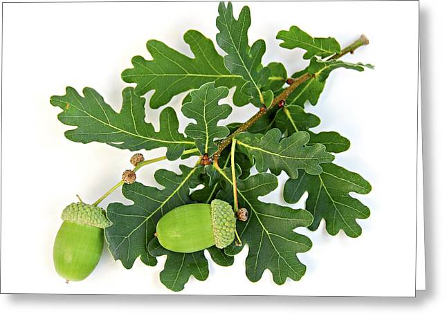 Oak Branch With Acorns Greeting Card by Elena Elisseeva