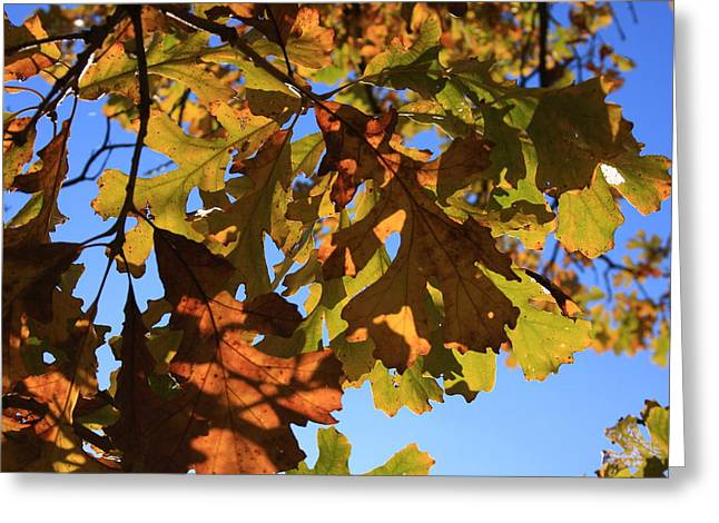 Oak Leaves With Backlighting Greeting Card by Lyle Hatch