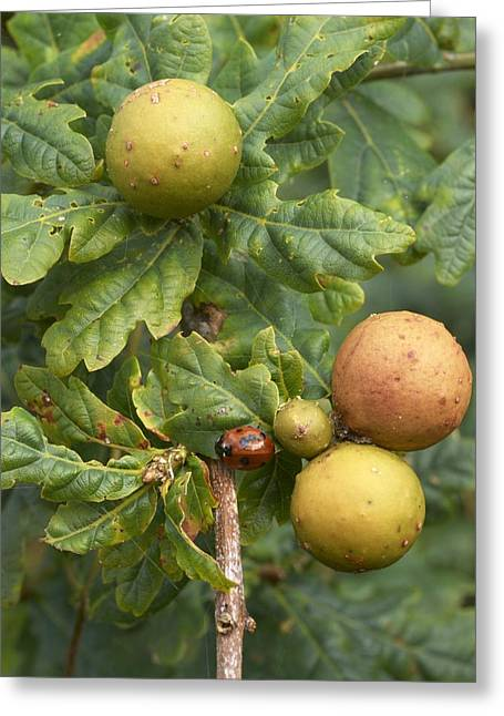 Oak Marble Galls Greeting Card by Adrian Bicker