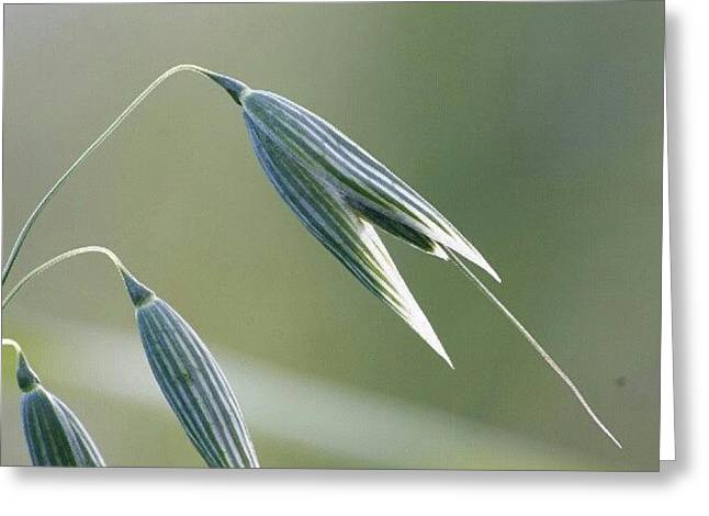 #oat #spica #decorative #cereal #plant Greeting Card by Andrei Vukolov