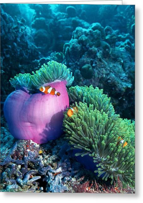 Ocellaris Anemonefish Greeting Card by Georgette Douwma