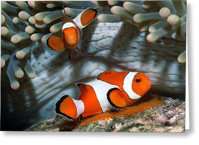 Ocellaris Anemonefish Laying Eggs Greeting Card by Georgette Douwma