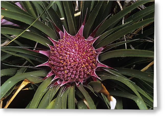 Ochagavia Carnea Greeting Card by Adrian Thomas
