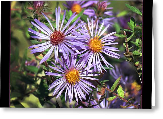 Odd Aster Out Greeting Card by Darleen Stry