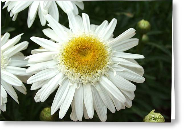Greeting Card featuring the photograph Oh Daisy by Carol Sweetwood