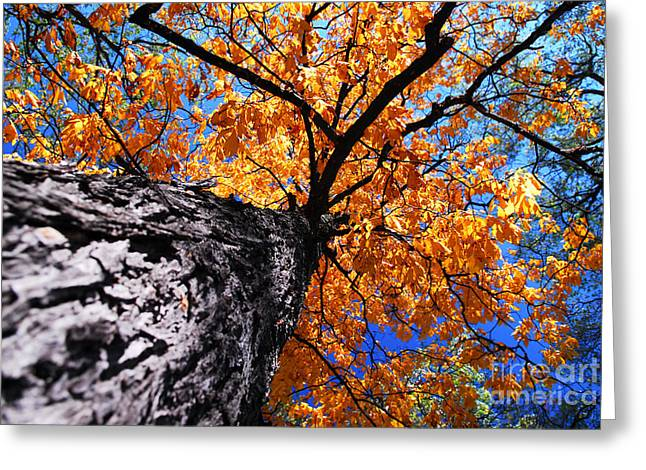 Old Elm Tree In The Fall Greeting Card by Elena Elisseeva