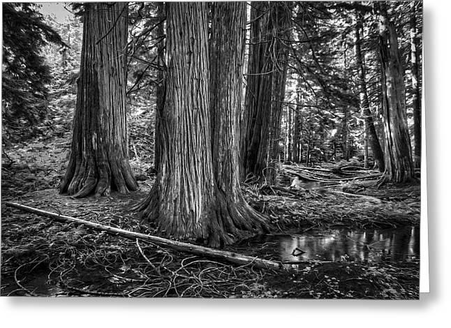 Old Growth Cedar Trees - Montana Greeting Card by Daniel Hagerman