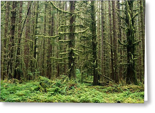 Old Growth Forest In The Hoh Rain Greeting Card by Natural Selection Craig Tuttle