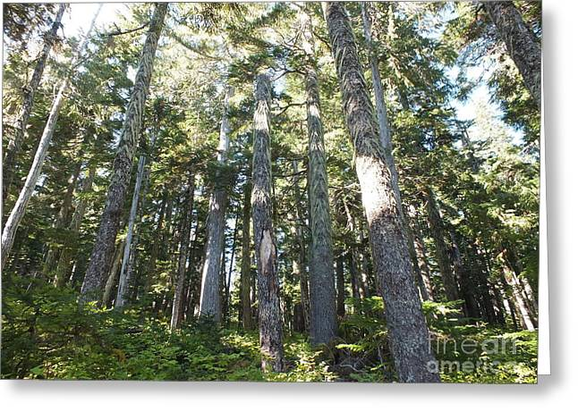 Old Growth Forest Greeting Card by Shannon Ireland