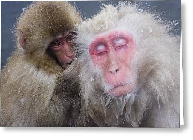 Older Snow Monkey Being Groomed By A Greeting Card by Natural Selection Anita Weiner