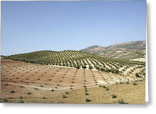 Olive Groves Greeting Card by Carlos Dominguez