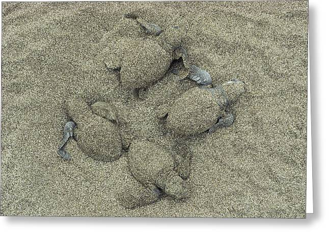 Olive Ridley Sea Turtles Hatching Greeting Card by Bill Curtsinger
