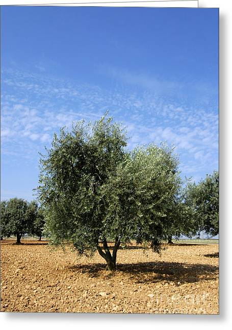 Olive Tree In Provence Greeting Card by Bernard Jaubert