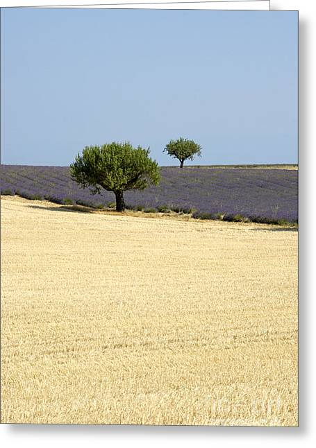 Olive Trees. Provence Greeting Card