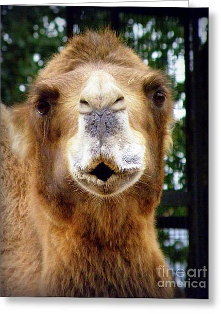 Omar The Camel Greeting Card by Lainie Wrightson